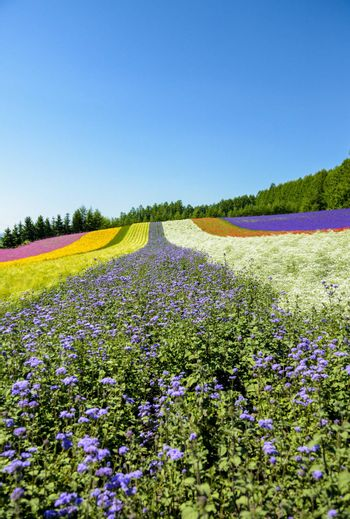 Colorful flower in the row with blue sky7