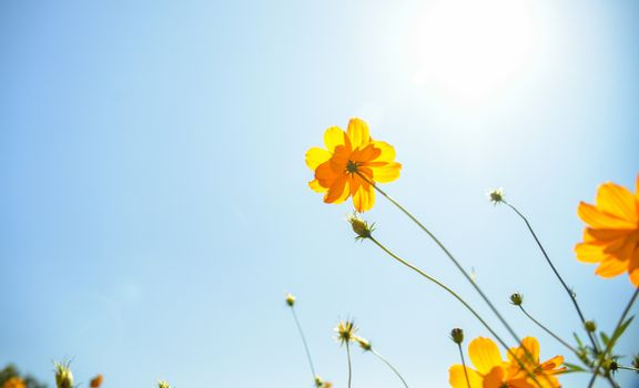 Yellow Cosmos flower with sunshine6