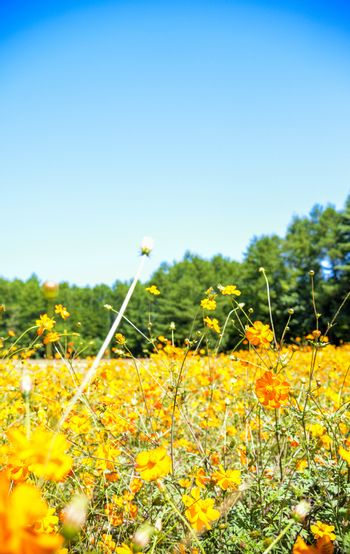 Yellow cosmos field in the farm3
