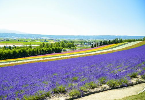 Lavender and colorful flower in the field7