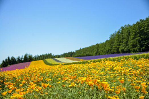 Colorful flower in the row with blue sky3