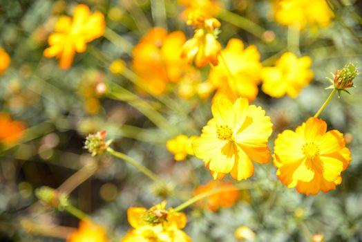 Yellow cosmos flower in garden