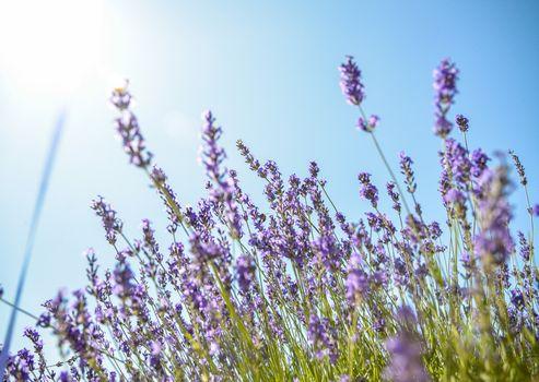 Lavender flower with blue sky1