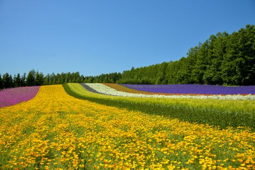 Colorful flower in the row with blue sky1