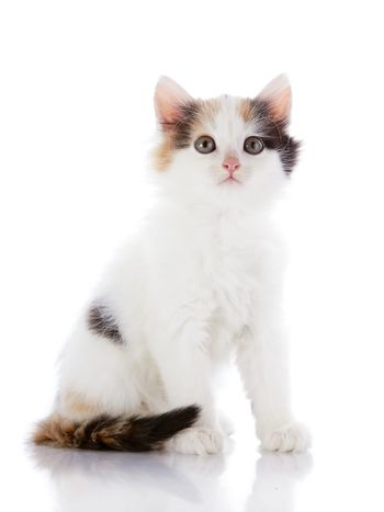 The white kitten with color spots sits