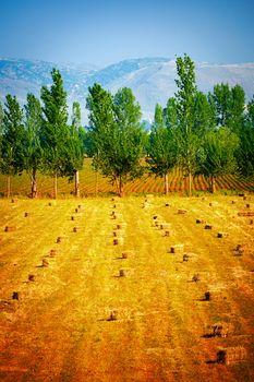 Many haycocks on golden dry field