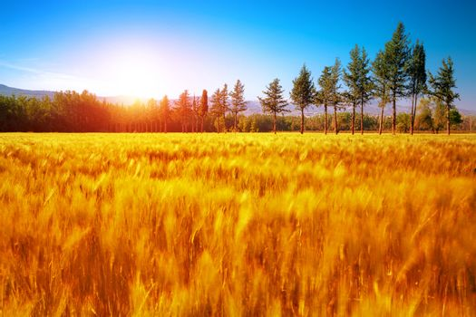 Beautiful autumn landscape, dry golden grass field, high green pine trees, autumnal nature, sunny day, scenery panorama