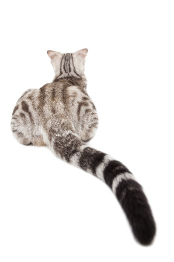 rear view of cat with long tail