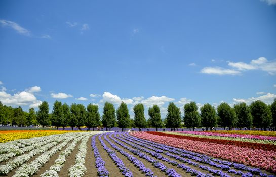 Row of colorful flower in Tomita farm3