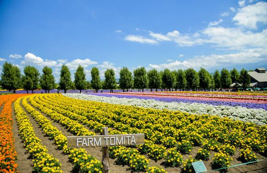 Row of colorful flower in Tomita farm2