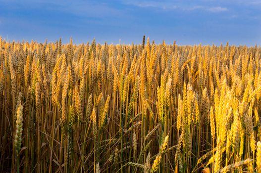 Wheat in sunrise