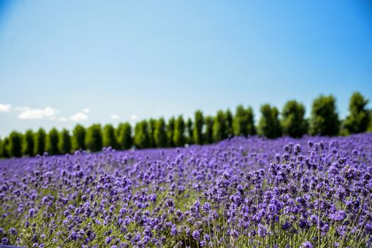 Lavender flower field with blue sky2