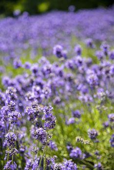 Plenty Lavender in the field4