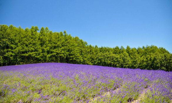 Lavender field with blue sky1
