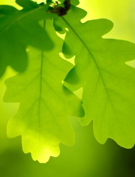 Spring Green Oak Leaves Over Blurred Background
