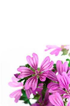 wild violet flowers