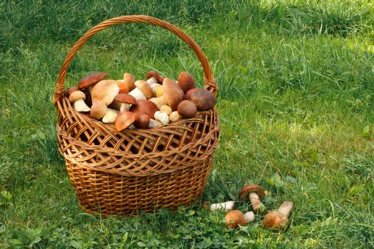 A large wicker basket filled with lots of different mushrooms, stands on the grass in the forest clearing.