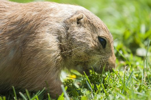 Cynomys ludovicianus or Prairie dog eating the grass