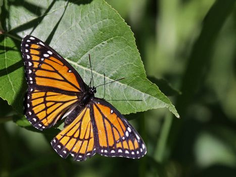 A Viceroy butterfly (Limenitis archippus) sitting on a leaf.  It is a co-mimic of the Monarch butterfly. Shot in Kitchener, Ontario, Canada.
