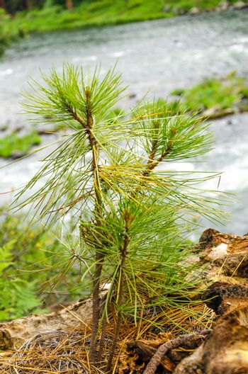 Small pine tree sapling growing in a forest