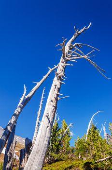 Dead trees with a deep blue sky on Mt. Hood in Oregon