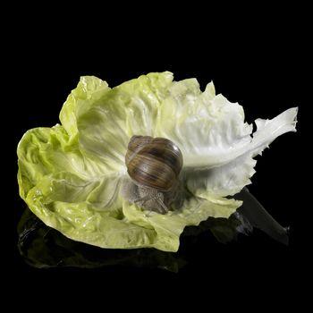 studio photography of a Grapevine snail on a single lettuce leaf in black reflective back