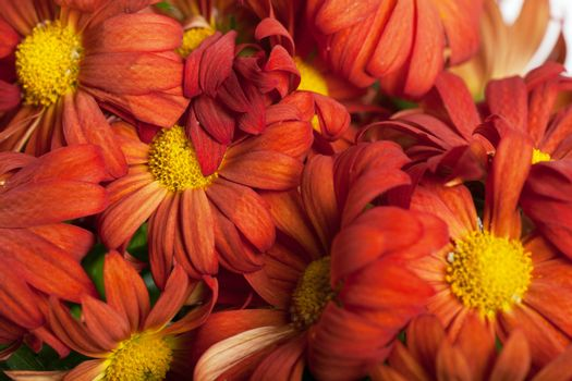 Close up view of a bunch of red chrysanthemums