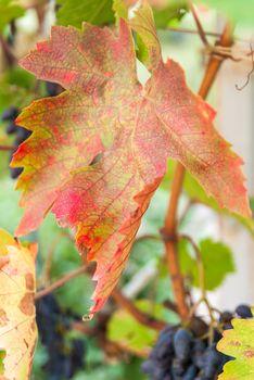 ripe cabernet sauvignon grapes on vine in autumn