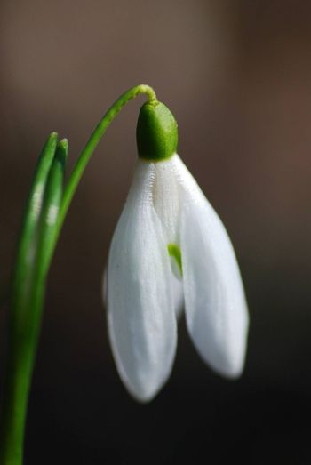 single snowdrop with dark background large view