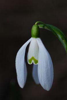 fresh snowdrops in bloom in spring