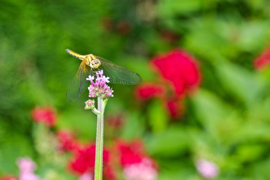 Dragonfly on a panicle with colorful flower background