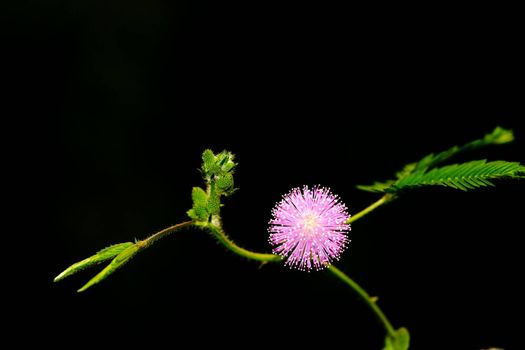 Mimosa pudica Linn, The ground cover plant is sensitive to touch and vibration.