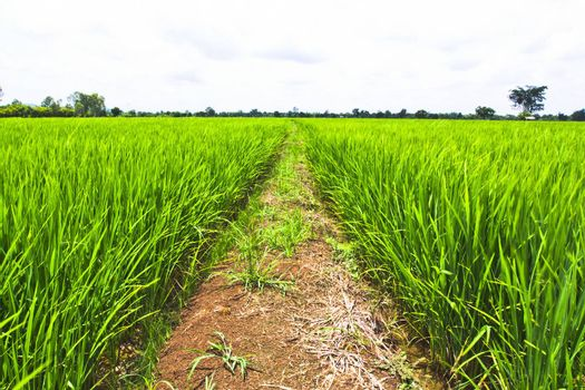 Rice field, the main agriculture of Thailand