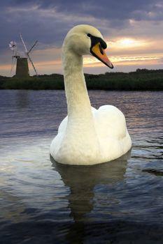 Mute Swan - Norfolk Broads - England