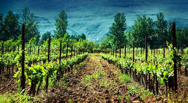 Fresh green vineyard