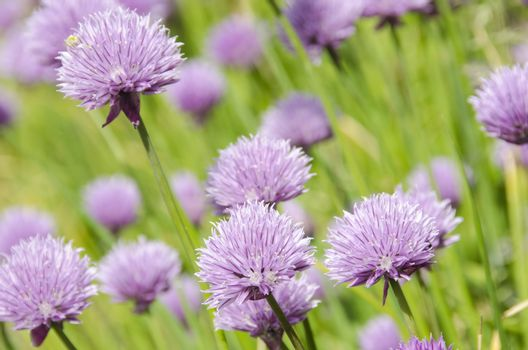 Flowering purple chive blossoms