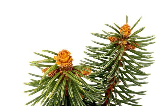 Green Spruce Branch