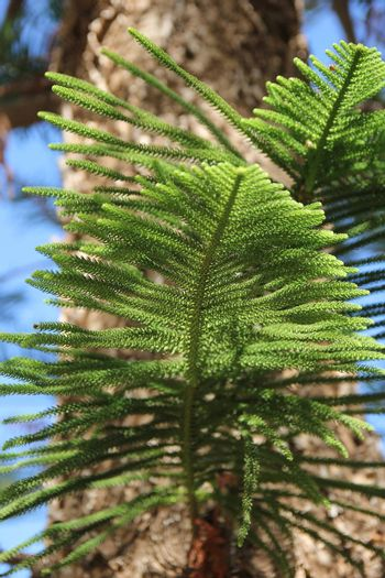 branches of green coniferous tree on a background of blue sky