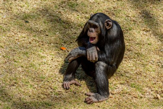 Male adult chimp communicating with facial expression and hand gestures