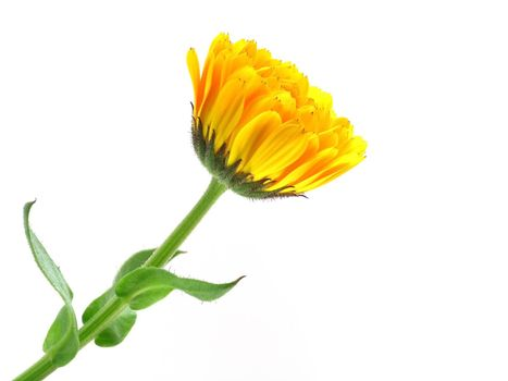 series of flowers: marigold on white background
