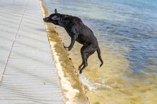 Dog jumping out of the Caribbean Sea onto a boardwalk on San Andres y Providencia, Colombia