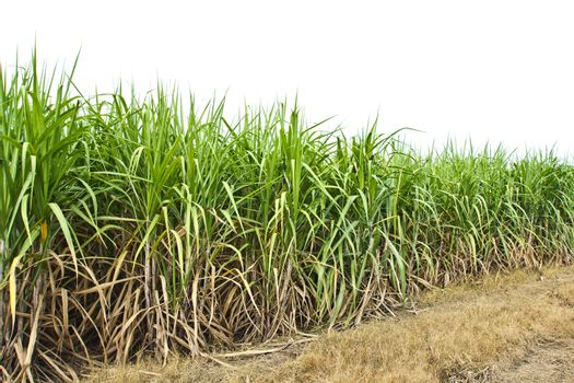 Sugarcane in farm with white background in Thailand