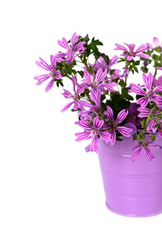 wild violet flowers in bucket