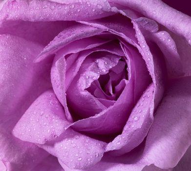 detail of a wet pink rose flower