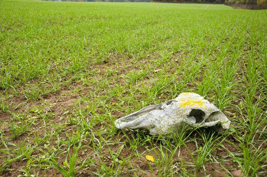farm field landcsape with crop and horse cranium