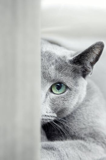 Russian blue cat with green eyes hiding indoors. Natural colors and depth of field
