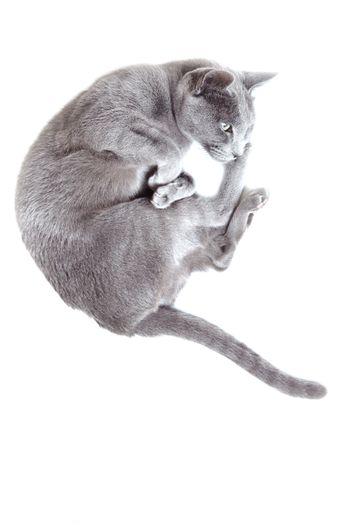 Gray cat laying on a white background