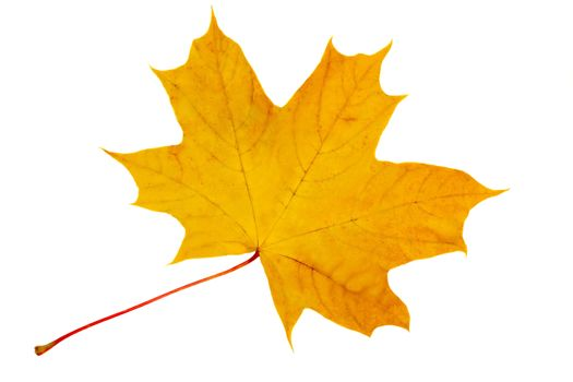 Autumn, fallen from the tree yellow maple leaf. Presented on a white background.