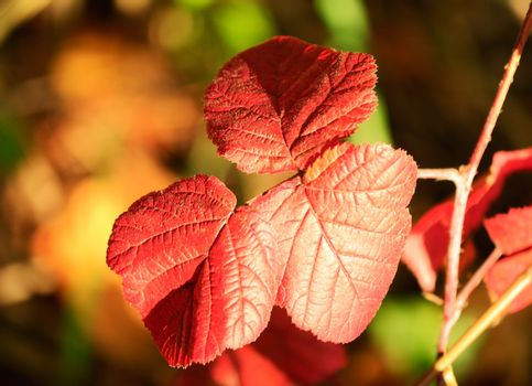 Autumn leaves Bush BlackBerry red, illuminated by the sun.