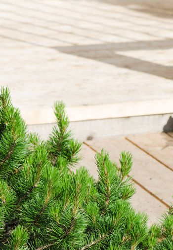 dwarf mountain pine in landscaping the Park